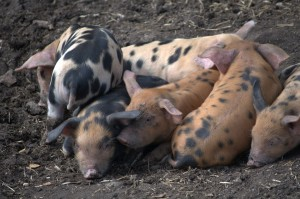 Oxford Sand & Black Piglets Snoozing